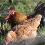 Mesures contre l'Influenza Aviaire 2020
